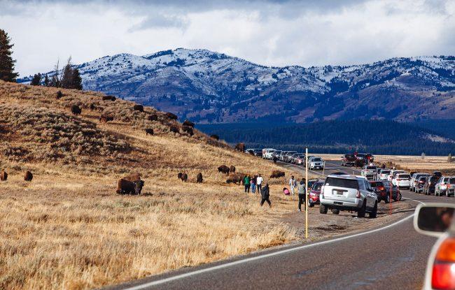 Bison Jam at Hayden Valley - Yellowstone