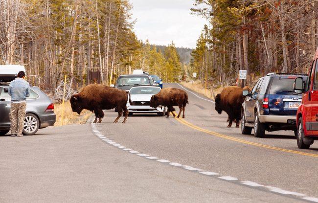 Bison Jam Yellowstone