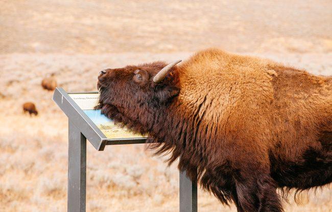 Hayden Valley Bison - Yellowstone