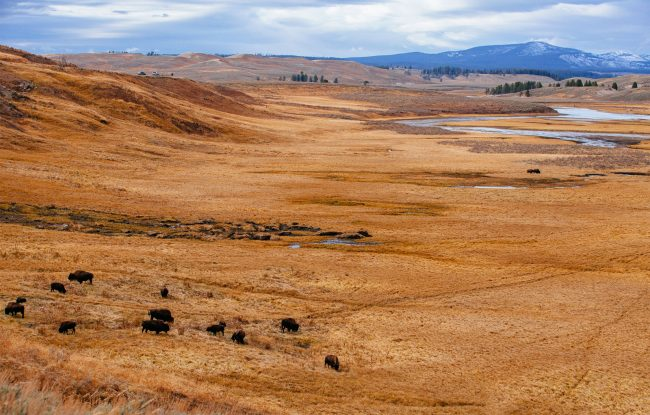 Hayden Valley with Bison in Yellowstone
